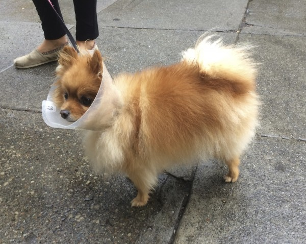 Tan Pomeranian In A Cone of Shame