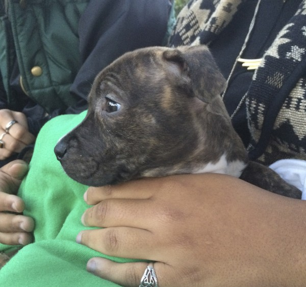 4-Week-Old Brindled American Pit Bull Terrier Puppy Held By Woman