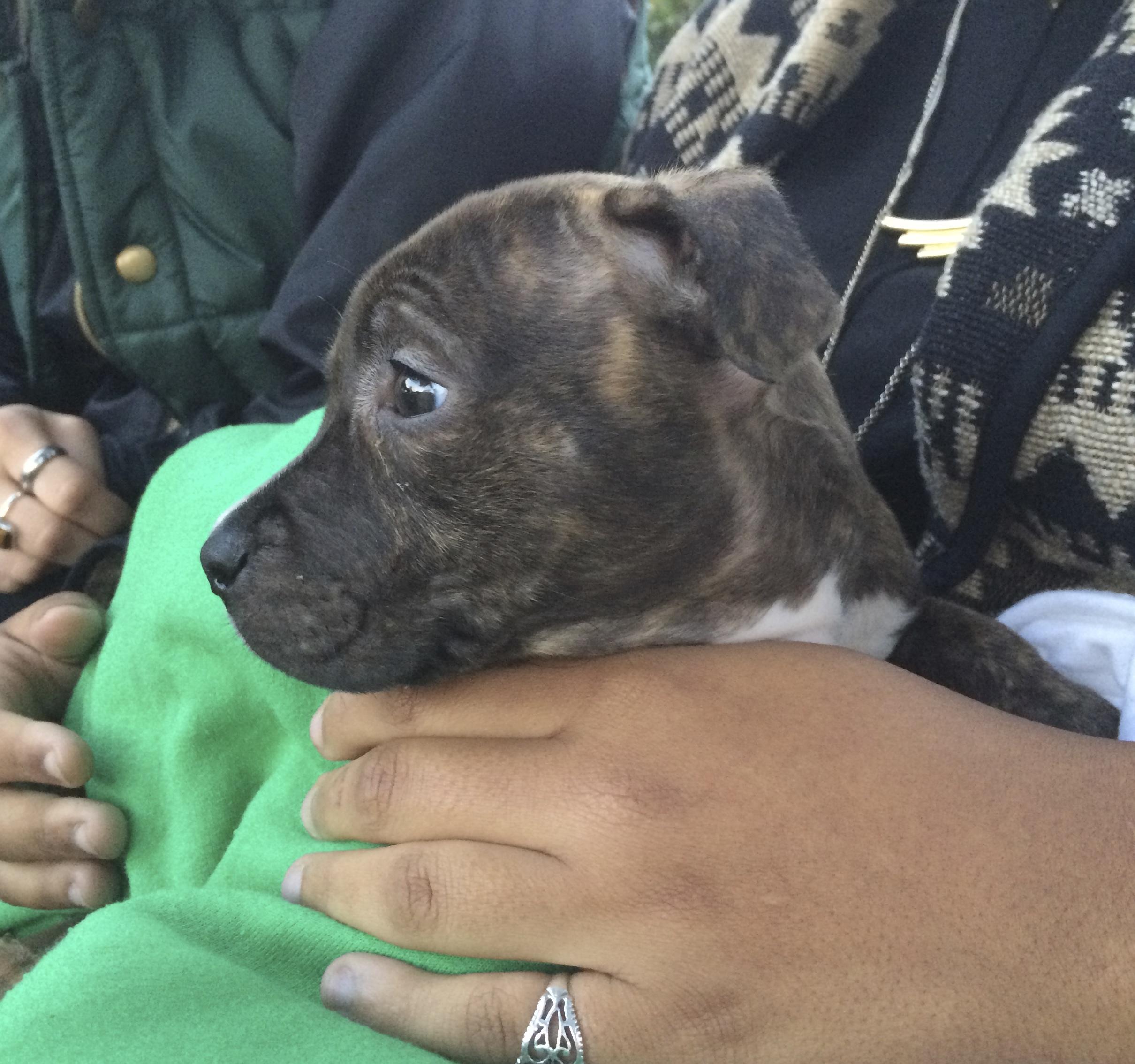 4-Week-Old Brindled American Pit Bull Terrier Puppy Held By Woman
