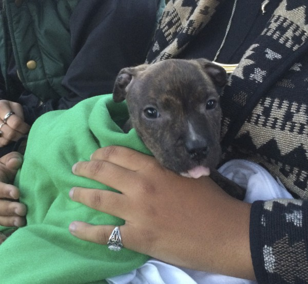 4-Week-Old Brindled American Pit Bull Terrier Puppy Held By Woman And Sticking Out Her Tongue