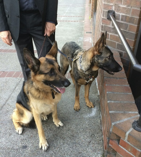 Two Young German Shepherds Sitting