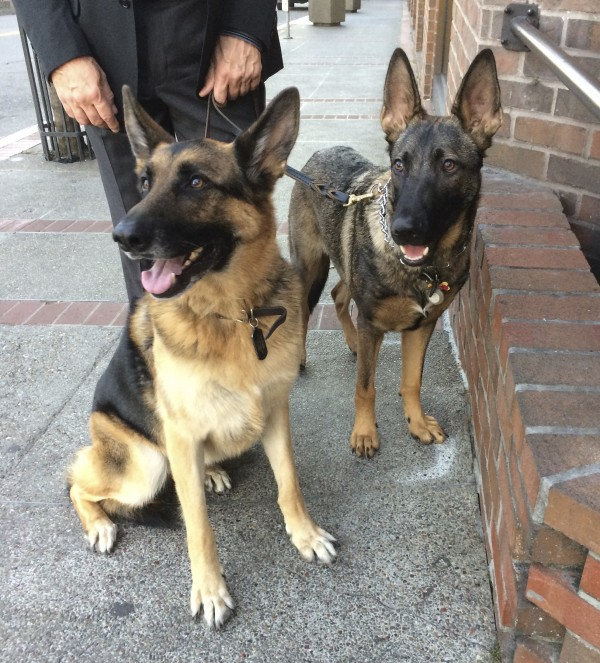 Two Young German Shepherds