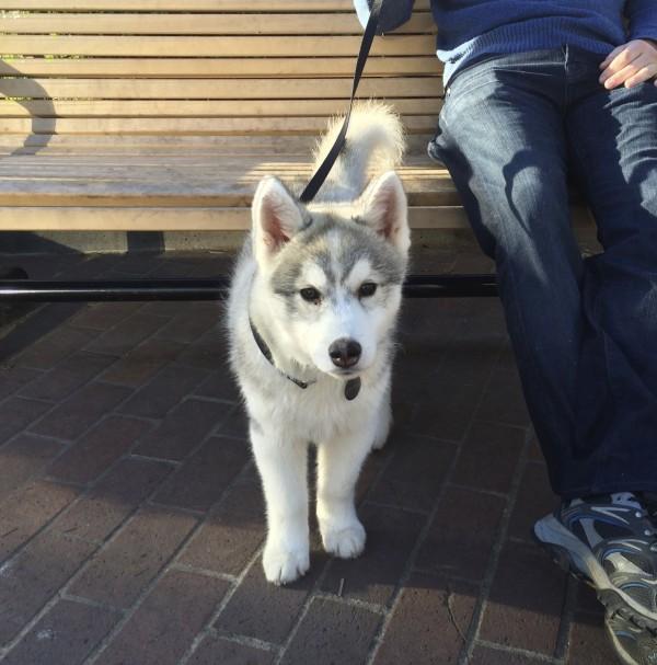 Silver Husky Puppy