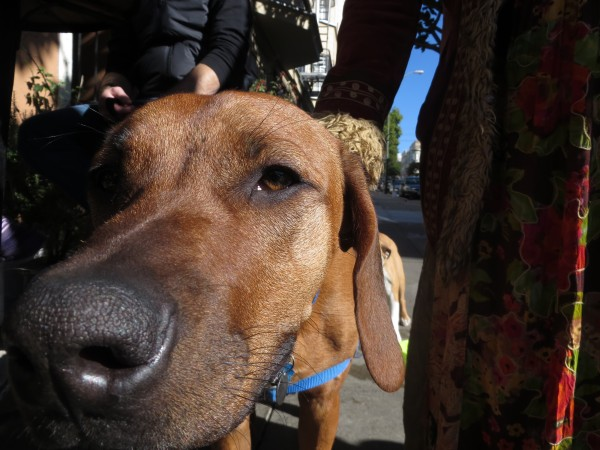 Rhodesian Ridgeback Face Sniffing The Camera