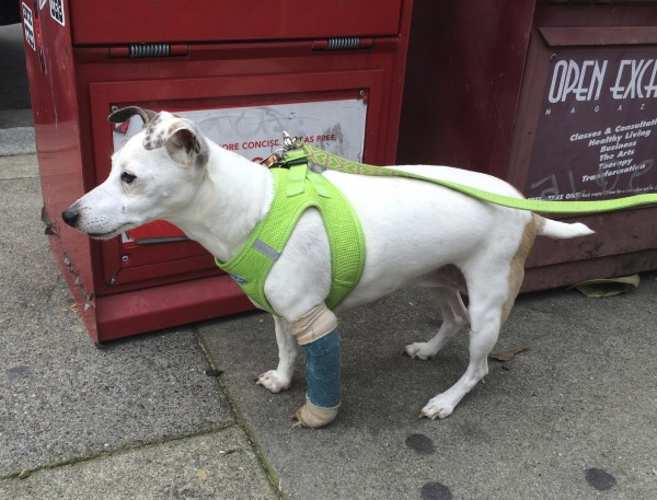 Jack Russell Terrier Italian Greyhound Mix With Wrapped Leg