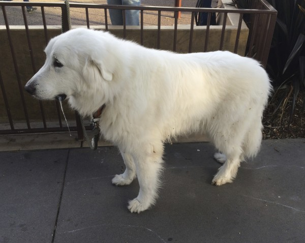 Great Pyrenees Drooling Rather Heavily