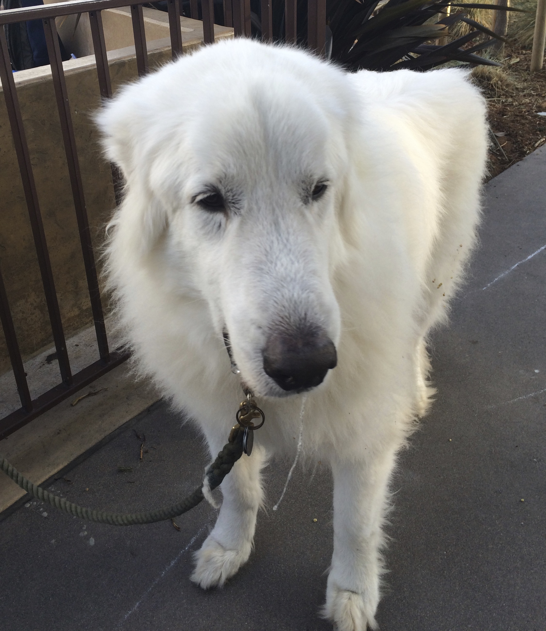Great Pyrenees Looking Dubious