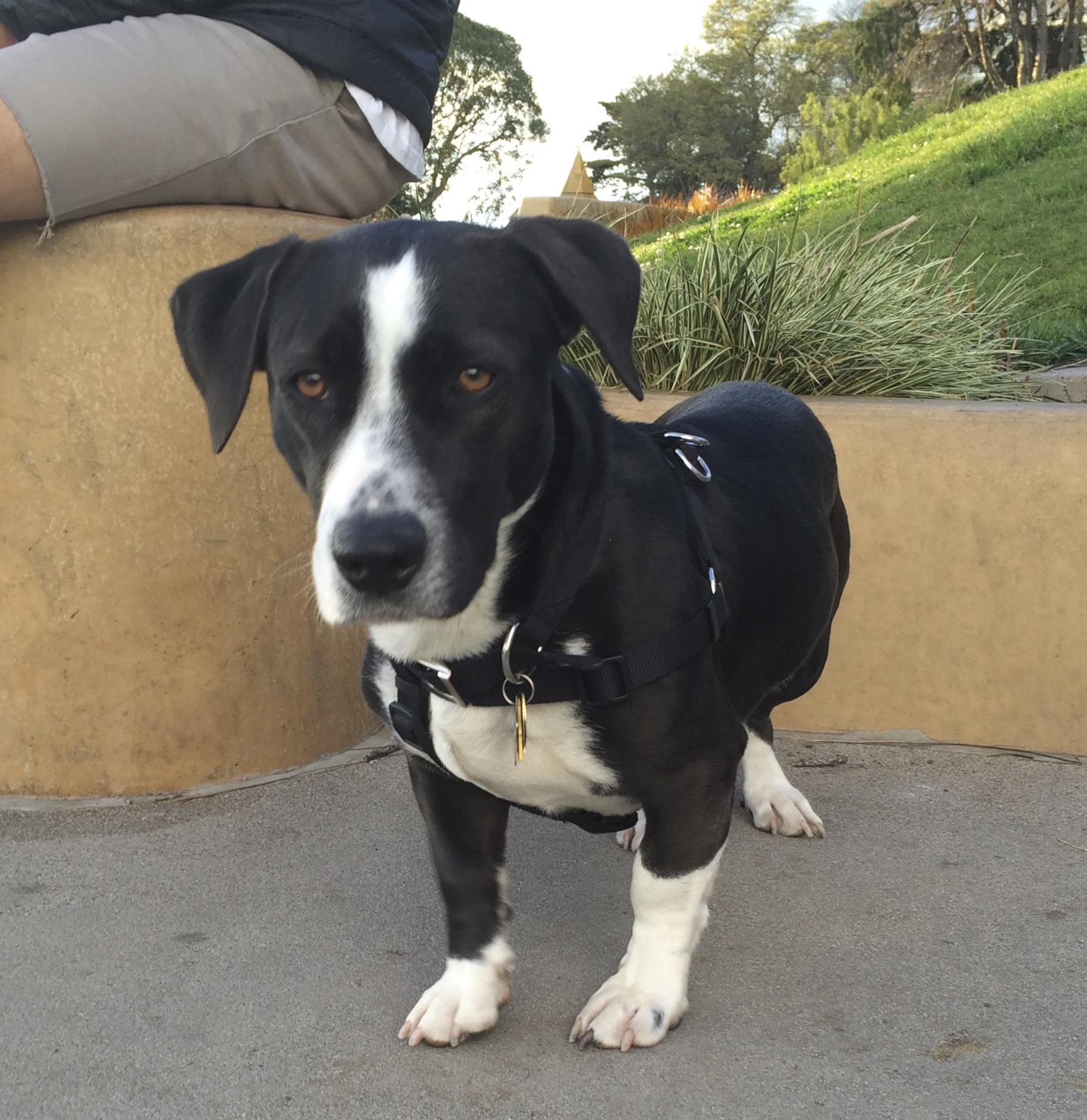 French White and Black Hound Dog breed - YouTube  |Black And White Hound Dog