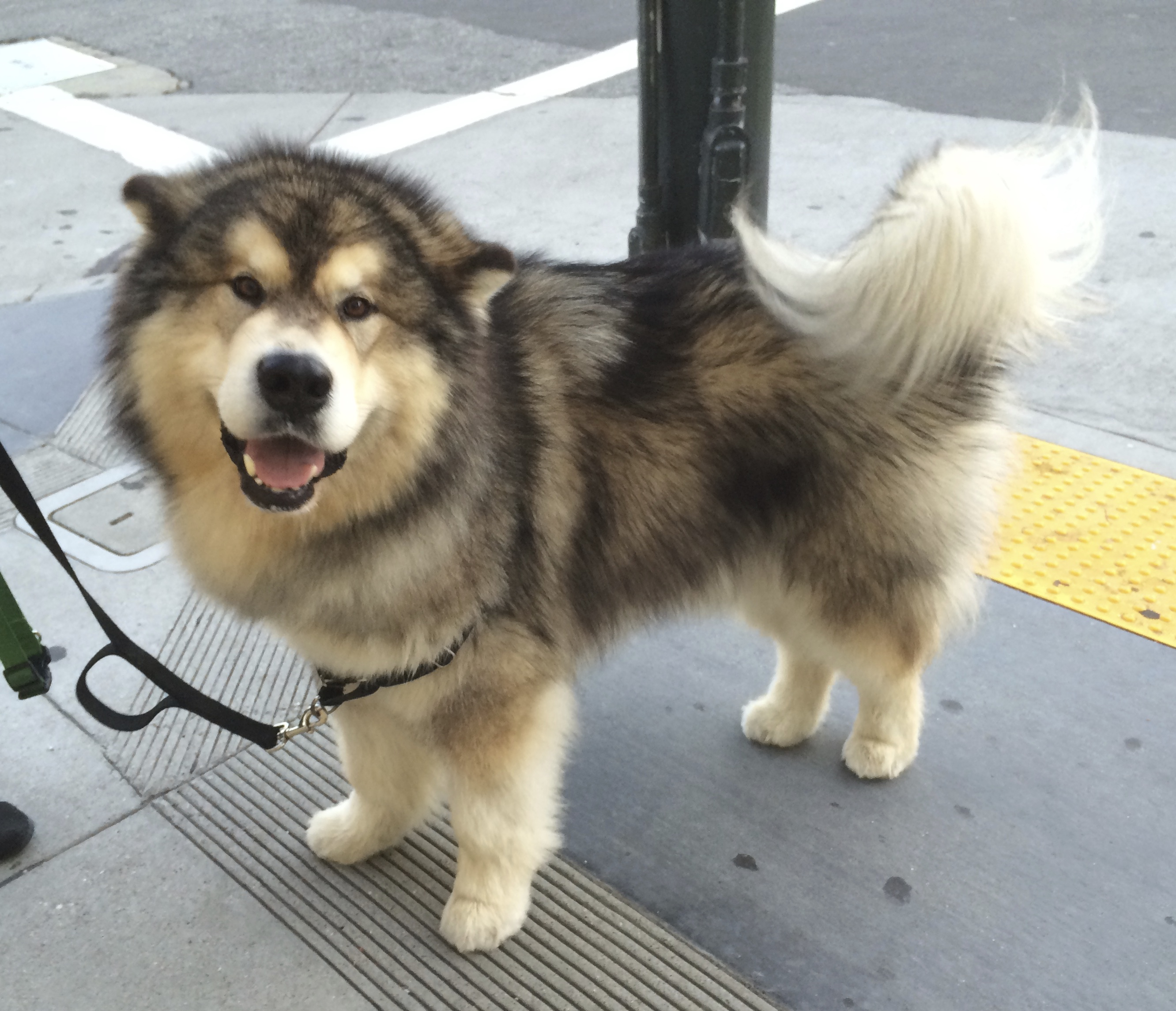 Wooly Black And White Alaskan Malamute Looking Delighted