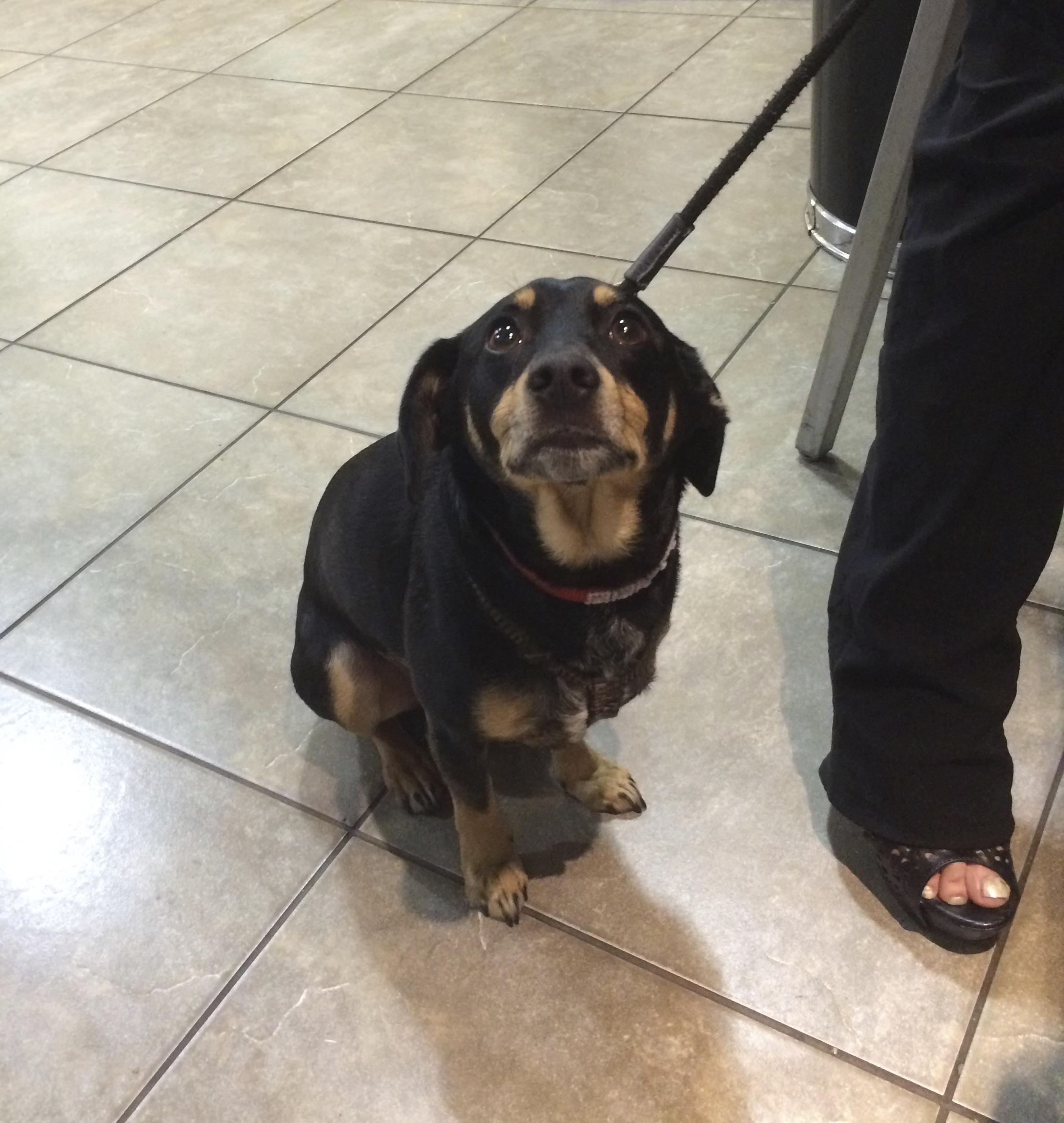 Black And Tan Dachshund Beagle Mix Sitting And Looking Very Plaintive