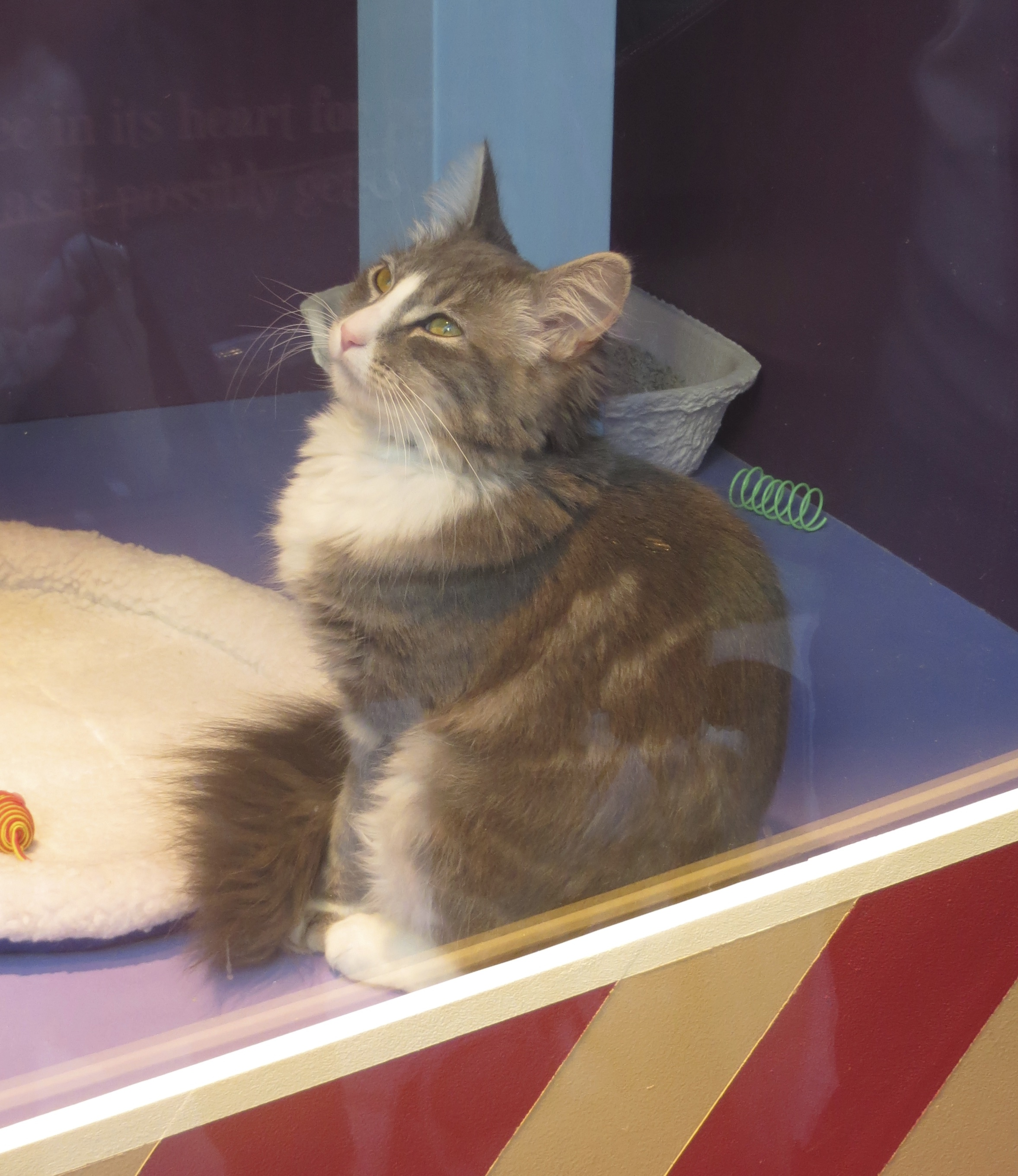 Grey Fluffy Long-Haired Cat In Store Window