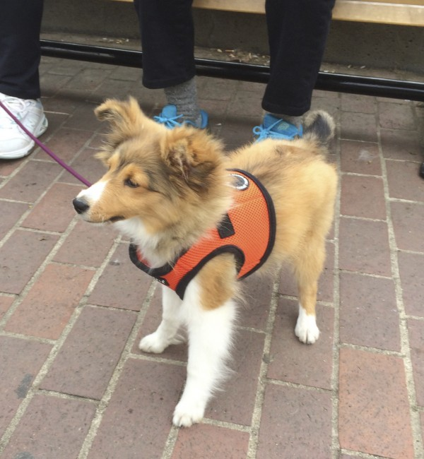 3-Month-Old Shetland Sheepdog Puppy In An Orange Vest