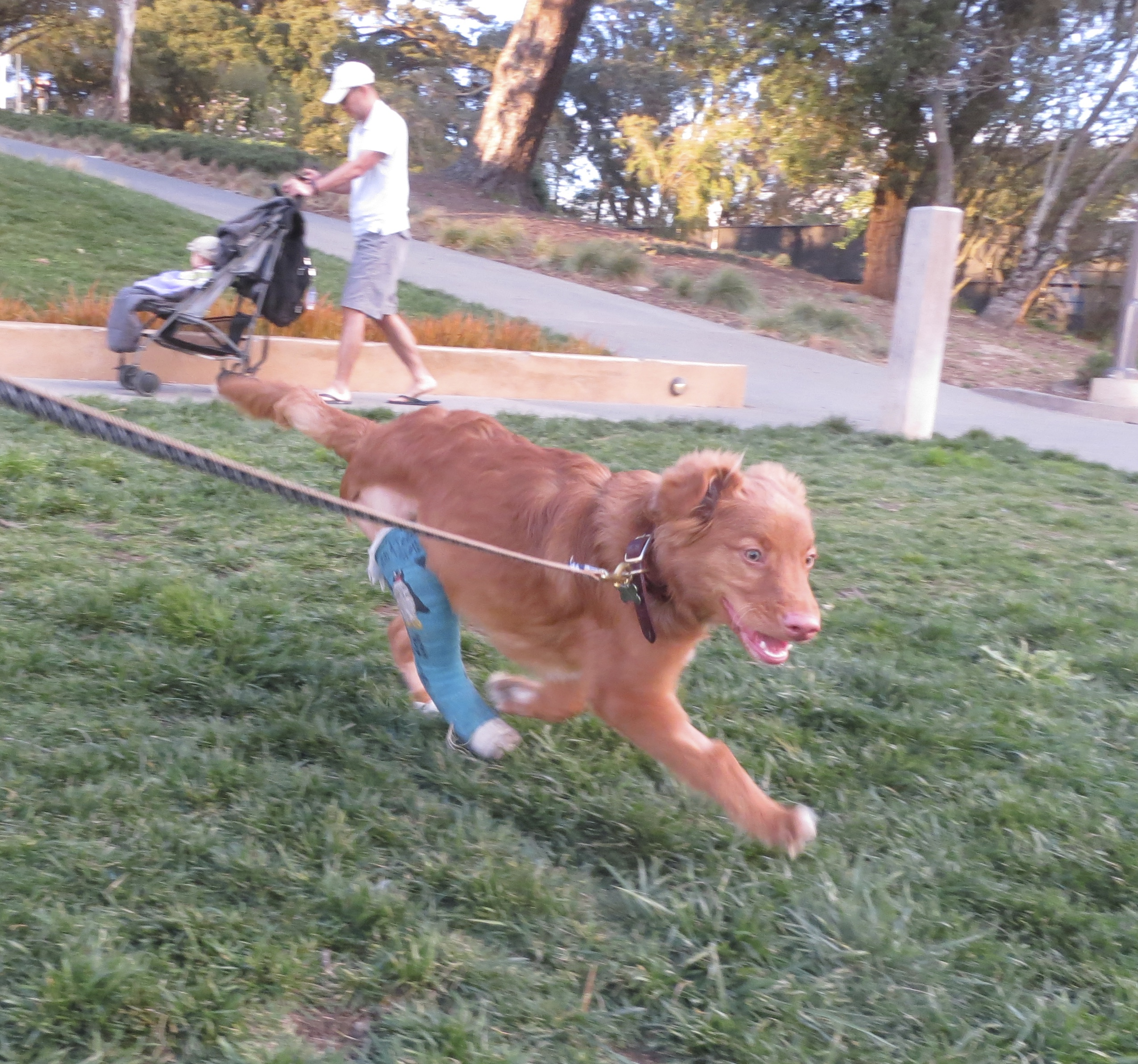 Nova Scotia Duck-Tolling Retriver Puppy With A Blue Cast On One Leg Running And Looking Happy