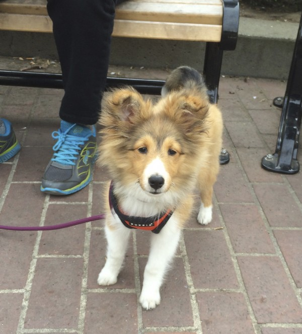 3-Month-Old Shetland Sheepdog Puppy In An Orange Vest With Slightly Flopped Eartips Stares At The Camera