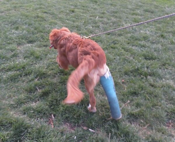 Nova Scotia Duck-Tolling Retriver Puppy With A Blue Cast On One Leg