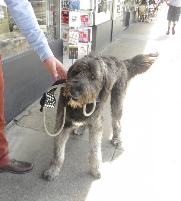 Grey Golden Retriever/Old English Sheepdog Mix With A White Spot On His Chest Holding His Own Leash In His Mouth