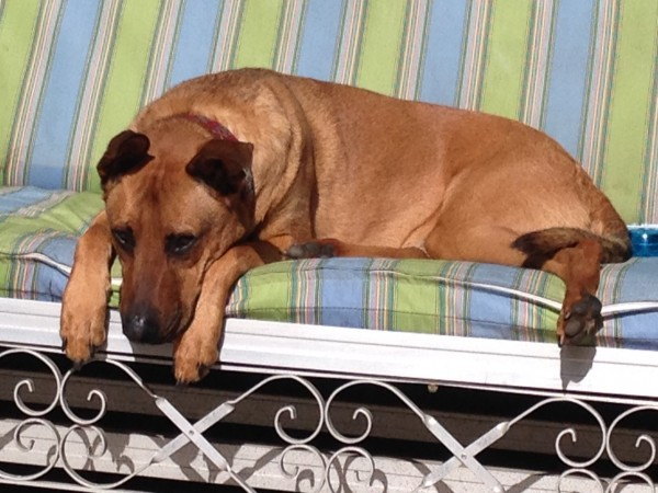 Rhodesian Ridgeback Mix Resting On A Sofa And Looking Sad