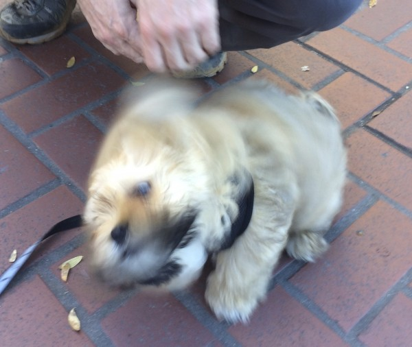 Blurry Pomeranian Shih Tzu Puppy Shaking Himself