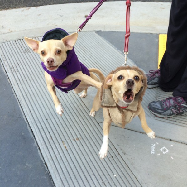 Two Chihuahua Mixes In Coats Barking At The Photographer