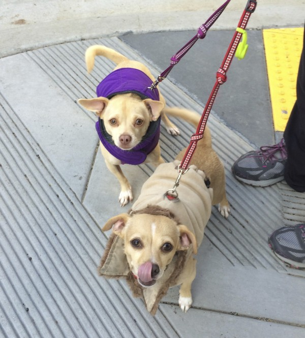 Two Chihuahua Mixes In Coats, One Licking Her Nose