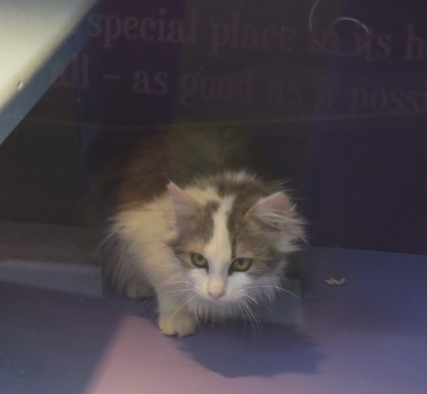Grey And White Fluffy Kitten Staring Intently
