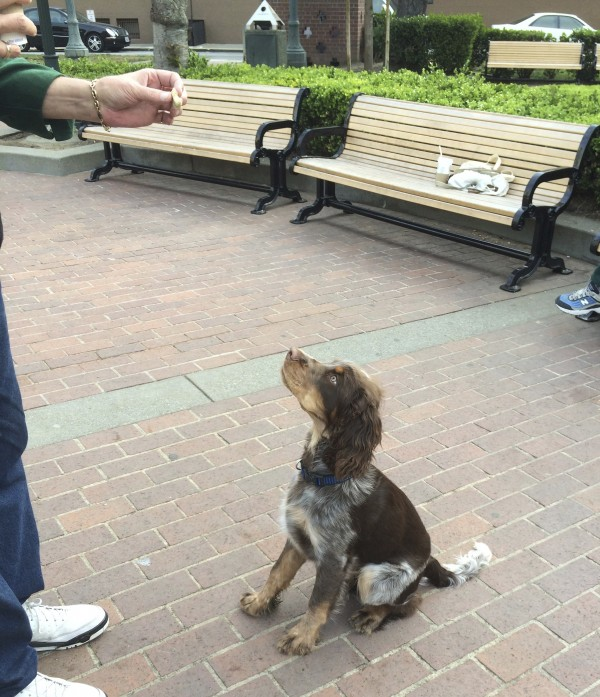 Tricolor Liver Roan English Springer Spaniel Puppy Sitting And Staring At Owner Who Is Holding A Dog Biscuit