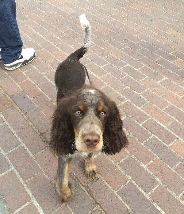 Tricolor Liver Roan English Springer Spaniel Puppy Staring At Camera