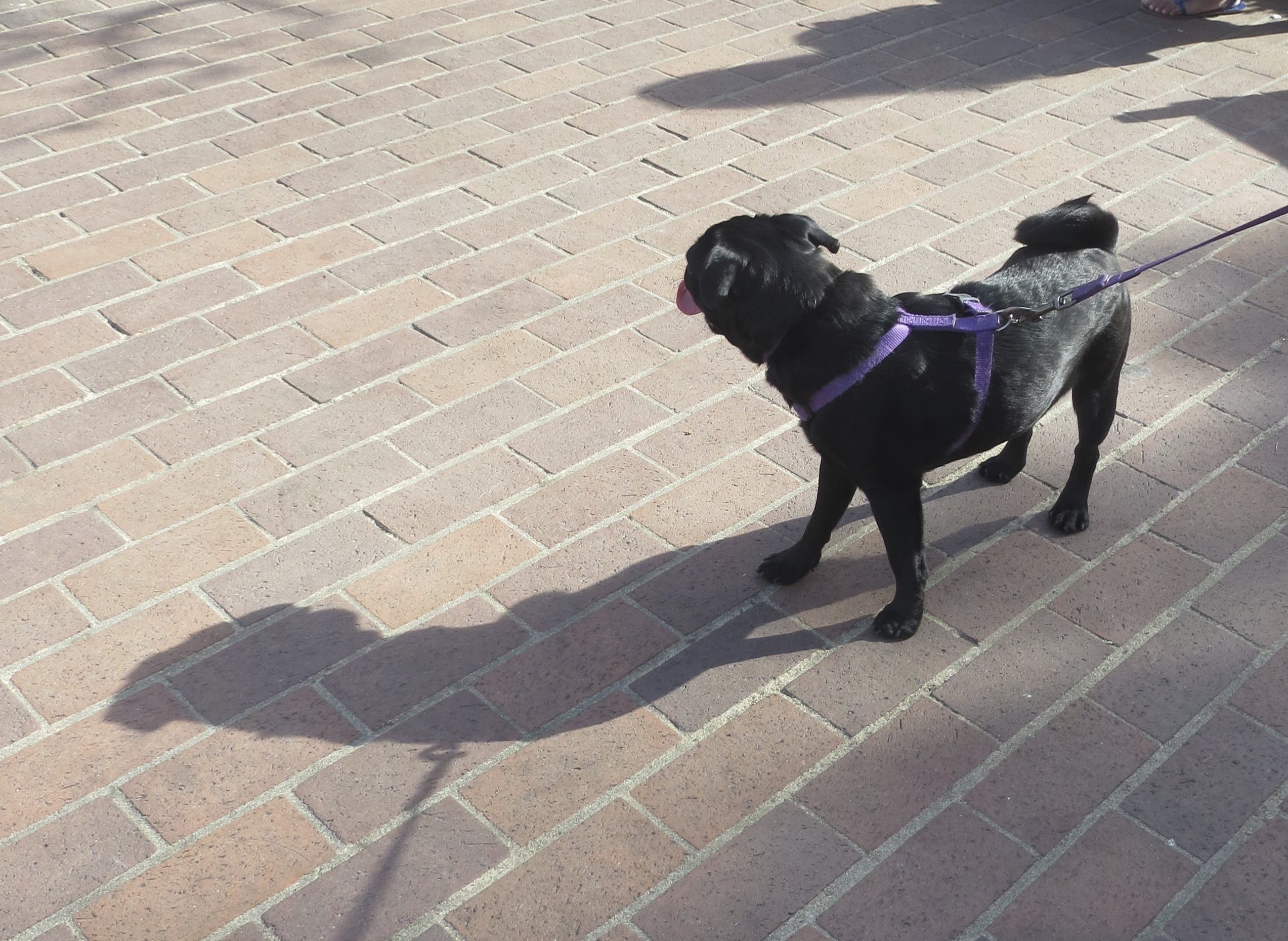 Black Pug Puppy From Behind With Tongue