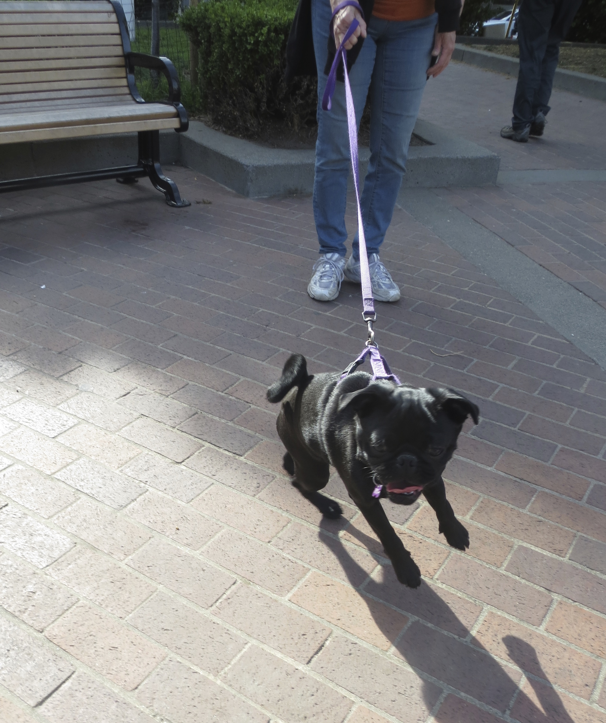 Black Pug Puppy Straining At End Of Leash