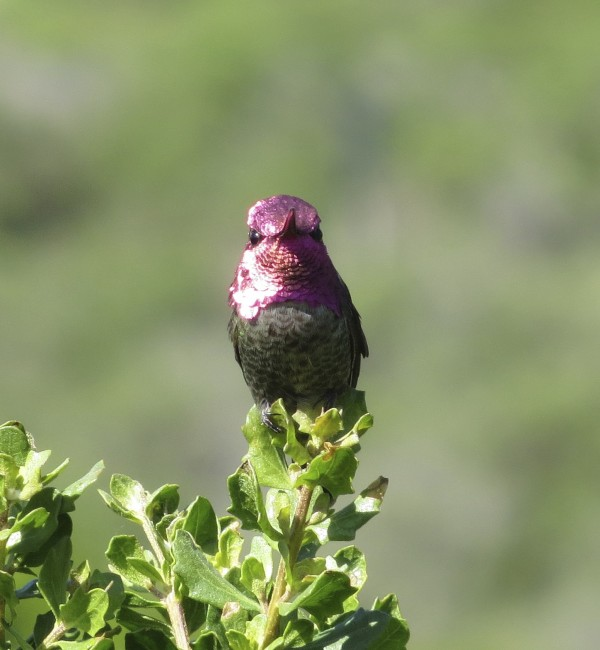 Closeup Of Male Anna's Hummingbird Perched On A Bush, Full-Face View, The Head Looks Deep Red