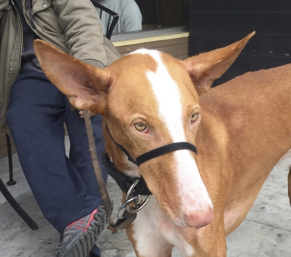 Closeup Of Red And White Ibizan Hound's Face