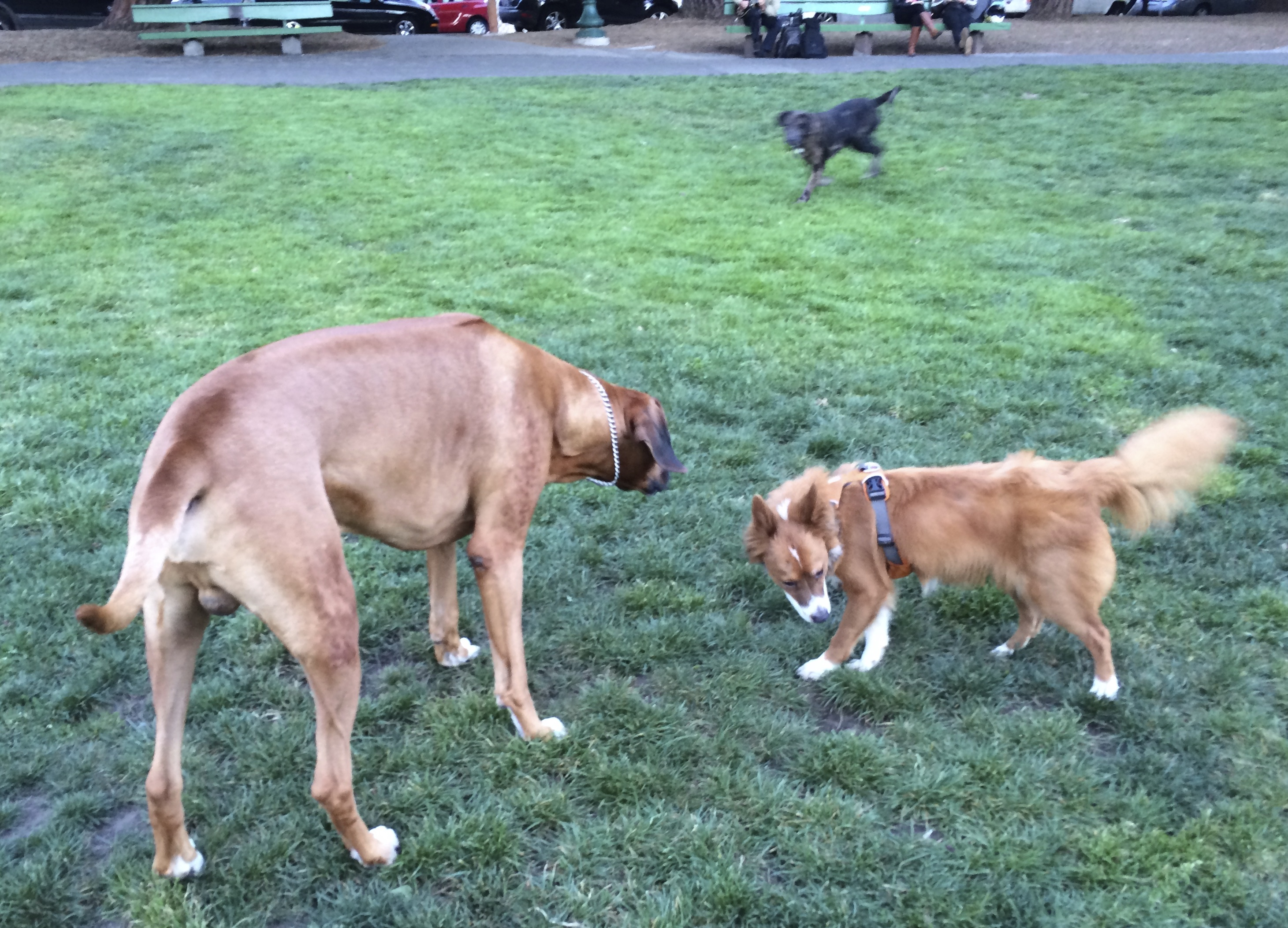 Fawn Great Dane And Icelandic Sheepdog Mix That Looks A Lot Like A Fox Interacting While Blue Leopard Catahoula Cur Dog Blur Runs In The Background
