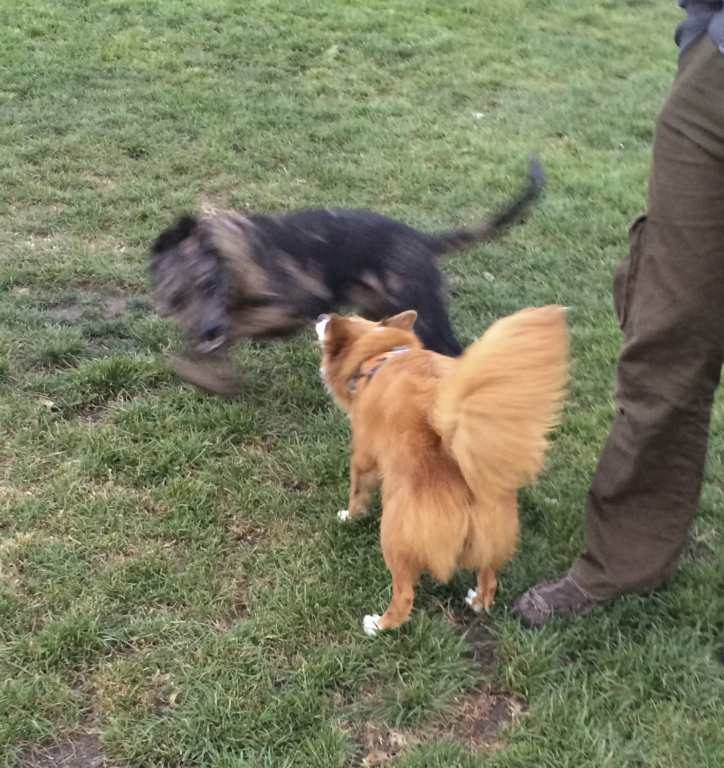 Blurry Blue Leopard Catahoula Cur Dog Running Around Icelandic Sheepdog Mix That Looks A Lot Like A Fox