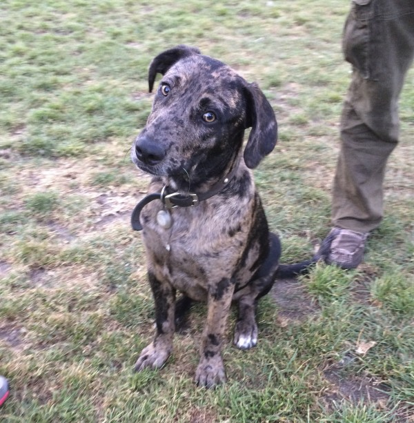 Blue Leopard Catahoula Cur Dog Tilting His Head To One Side