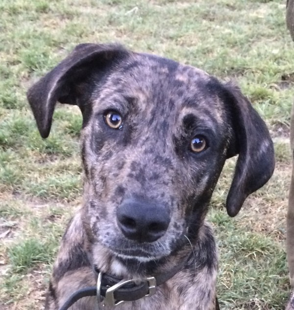 Blue Leopard Catahoula Cur Dog Closeup Looking Into Camera