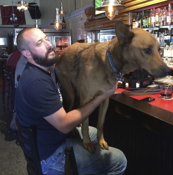 German Shepherd Mix Standing On Man's Lap At Bar