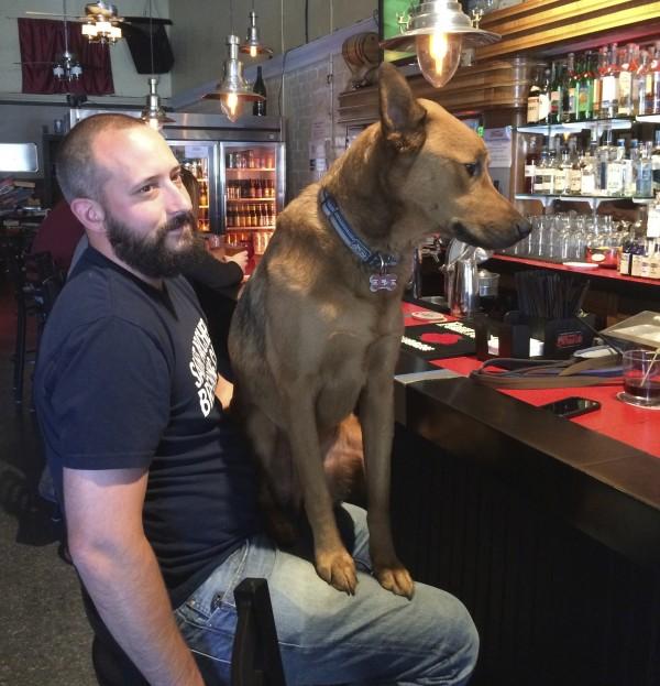 German Shepherd Mix Sitting On Man's Lap In Pub