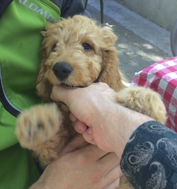 11-Week-Old Yellow Labrador Retriever Poodle Mix Puppy Biting Man's Hand