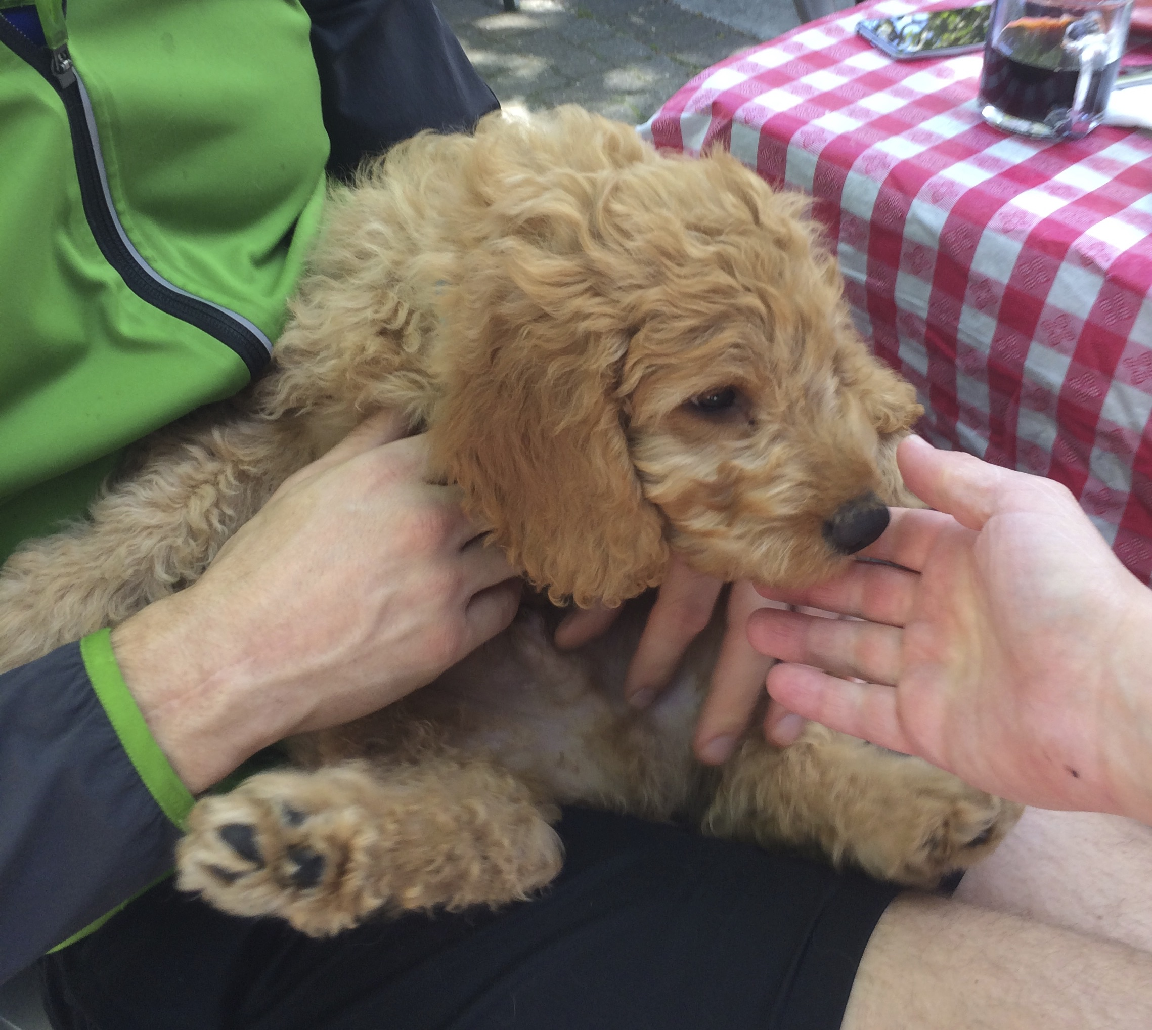 11-Week-Old Yellow Labradoodle Puppy Sprawled In Man's Lap