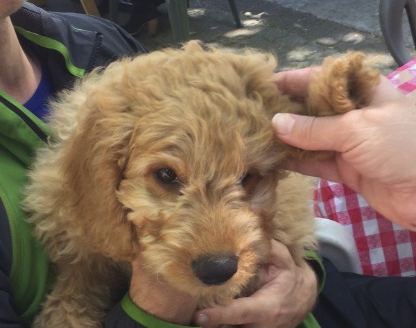 Man Holding The Ear Of A 11-Week-Old Yellow Labradoodle Puppy