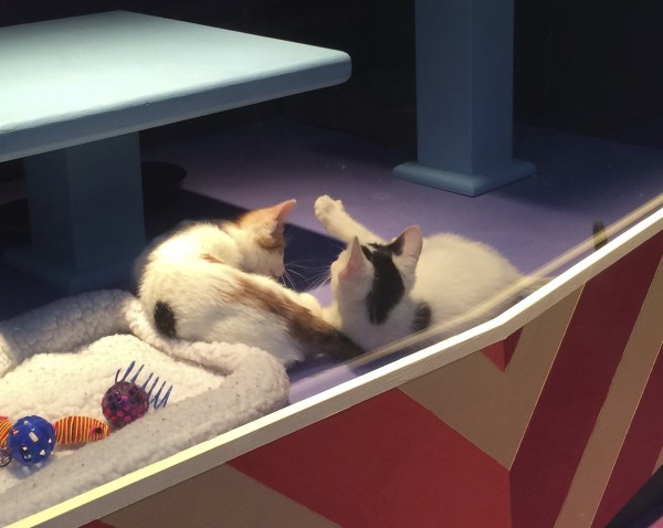 Two Calico Kittens Cuddling In A Store Window