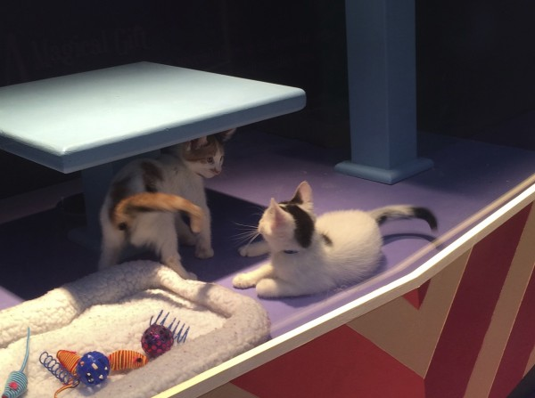 Two Calico Kittens Facing Off In A Store Window