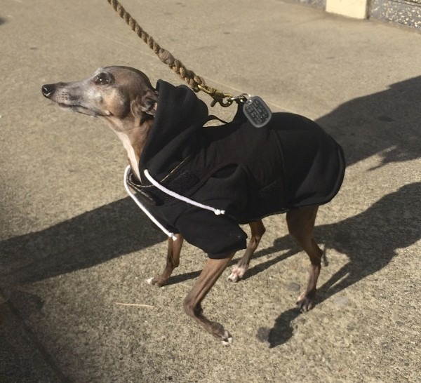 Italian Greyhound In A Hoodie