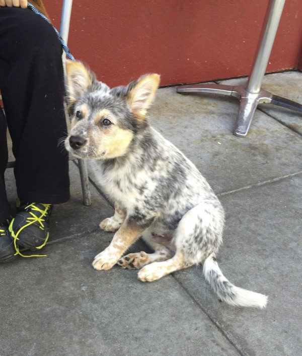 Blue Merle Australian Cattle Dog Australian Shepherd Mix Puppy Sitting