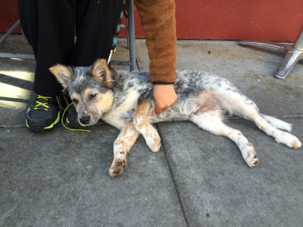 Blue Merle Australian Cattle Dog Australian Shepherd Mix Puppy Lying On Her Side And Showing Off Her Belly