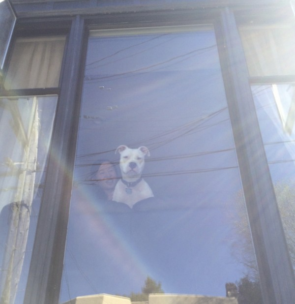 White American Pit Bull Terrier Looking Out A Bay Window