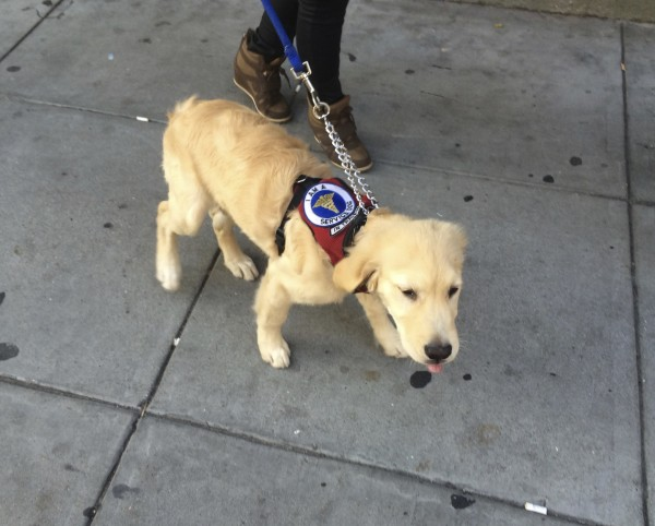 Golden Retriever Puppy In Service Dog In Training Vest Sticking His Tongue Out At The Camera