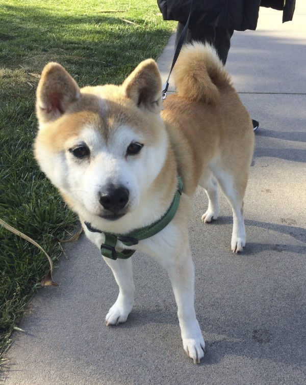 Tan And White Shiba Inu Looking With Interest At The Photographer