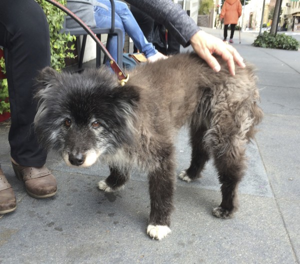 Twenty-Year-Old Keeshond Border Collie Mix Standing