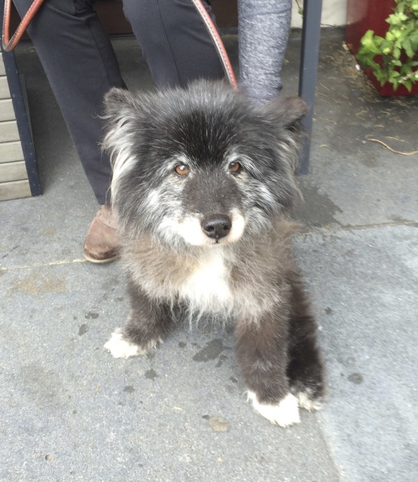 Twenty-Year-Old Keeshond Border Collie Mix Sitting And Looking At The Camera